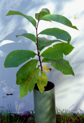 growing pawpaws begins with fall planting