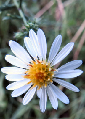 white heath asters are one of many asters