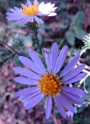 Aster anomalus is one of many asters