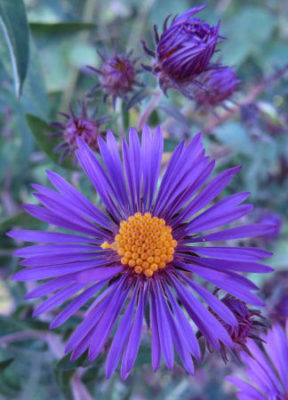 New England Aster is one of many asters