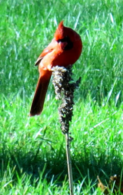 cardinal on seed treats