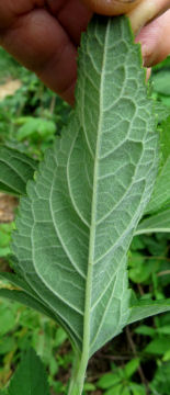 wood sage underr leaf