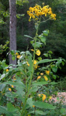 yellow ironweed plant