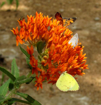 botanical families include Asclepiadaceae like butterfly weed milkweed
