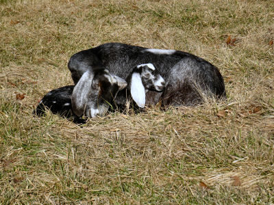 sweet goat pictures