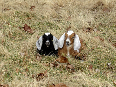 cute goat pictures