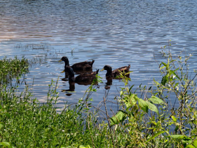 ducks at ShawneeMac Lakes Conservation Area