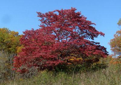 summer turns into fall when the dogwoods turn color