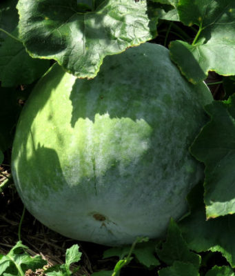 Chinese winter melon