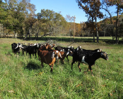 herd in pasture isn't where my goats vanished
