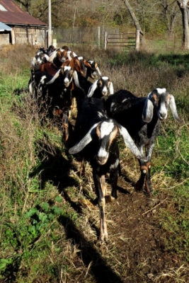 my Nubians start out to pasture