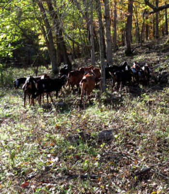 my goats vanished into the woods
