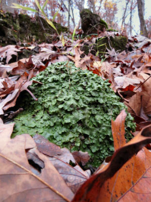 Liverworts flourish in a pile on a rock