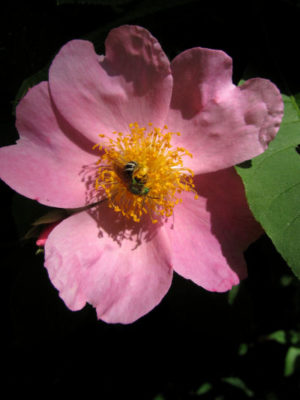 count five on prairie roses