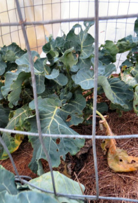 broccoli survives winter in changing climate