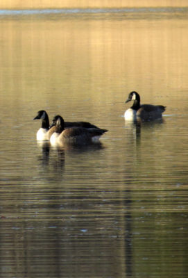 watching Canada geese during winter hiking weather