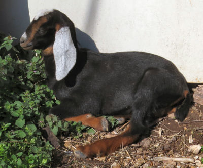 Gardening with goat kids includes the little Nubian buck