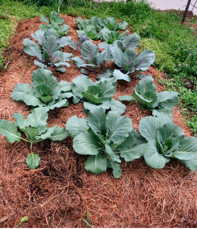 growing cabbage takes cool weather