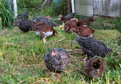 chicks become pullets eating chickweed to grow faster