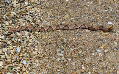 copperhead snake on road