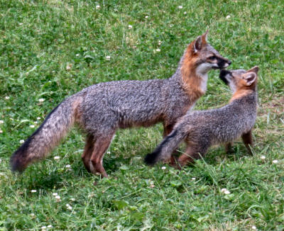 watching wildlife from inside the house keeps shy foxes in view