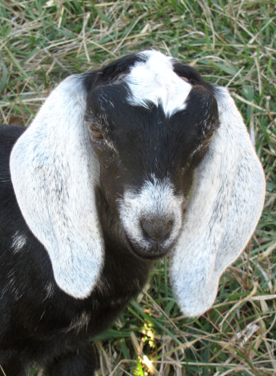 goat kids get into all kinds of mischief giving fodder for playing with words