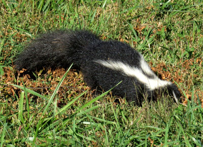 young skunk digging for grubs