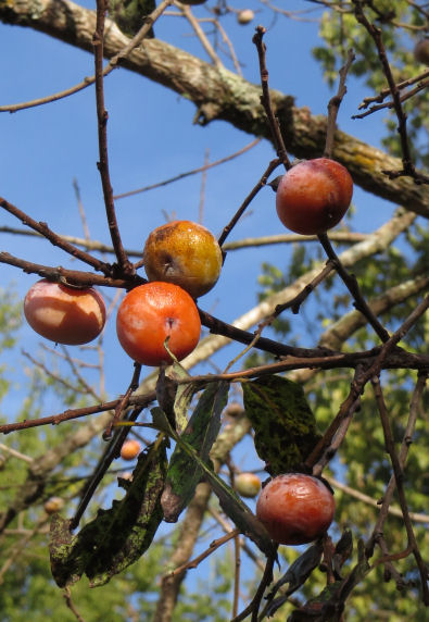 persimmons are a sweet wild harvest