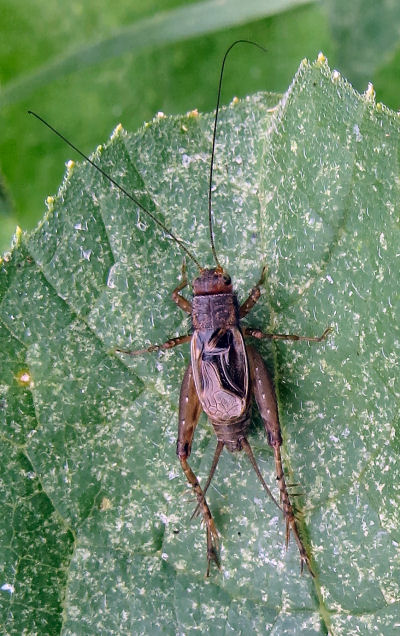 crickets iconic fall sounds