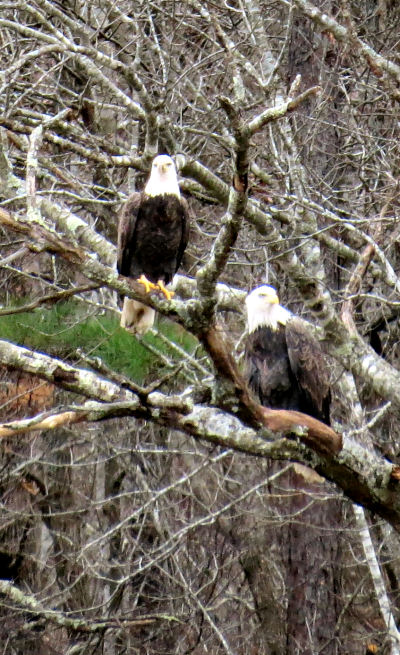 bald eagle watching nets pair