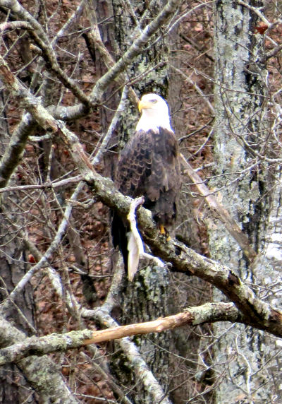 bald eagle watching pays off with this one