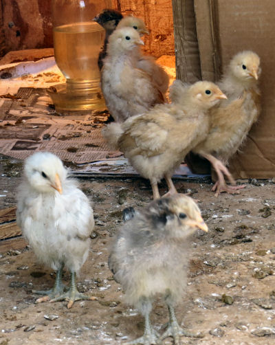 baby chicks arrive in uncertain times and weather