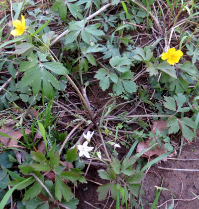 Hispid Buttercup plant