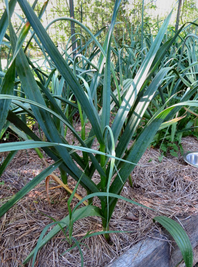 garlic scapes on plant