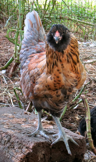 arcana chicks become pullets