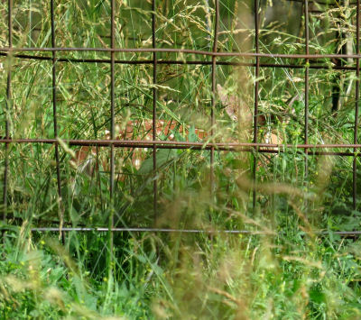 spotted fawn hiding in tall grass