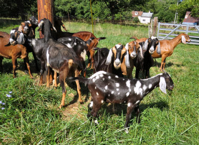Nubian herd has the summer goat blues