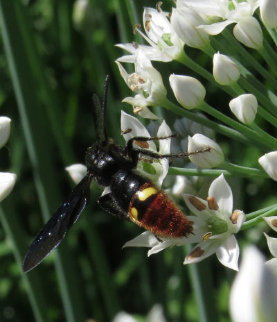 wasps are garlic chives pollinators