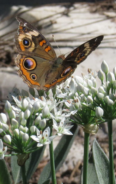 buckeye butterfly on garlic chives