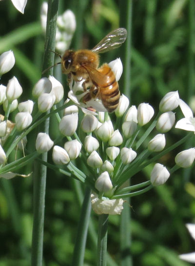 honeybees are garlic chives pollinators