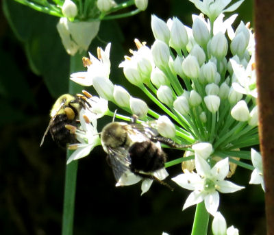 bumbleebees are garlic chives pollinators