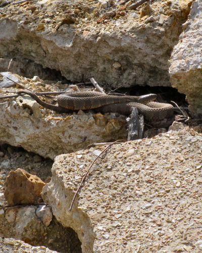 northern water snake on concrete piece