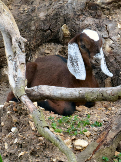 Nubian goat kids are part of the endless goat year