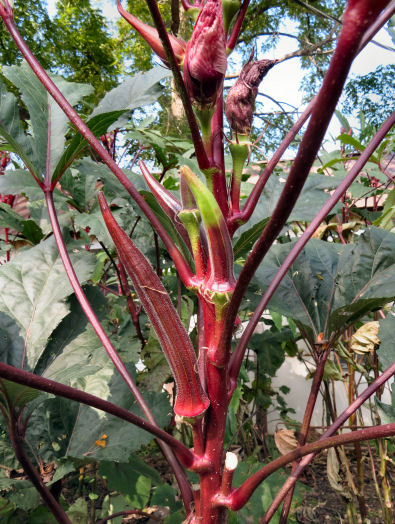 Burgundy Okra playing waiting game gardening