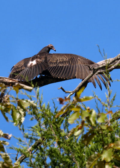 vulture basking in the sun