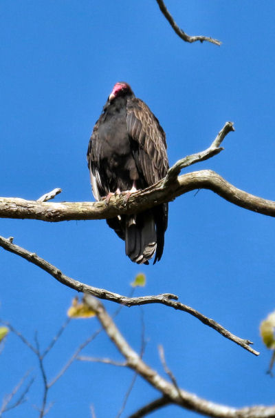 individual bird in kettle of vultures