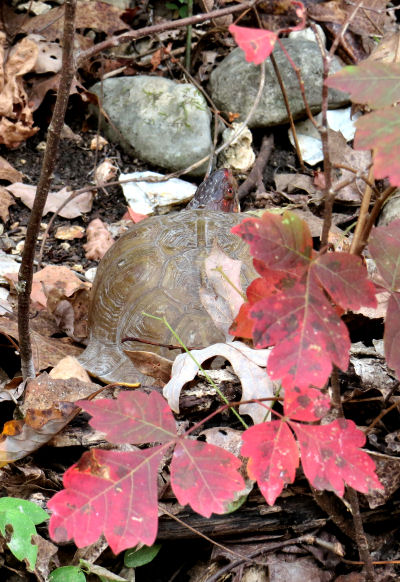 success with help for box turtle