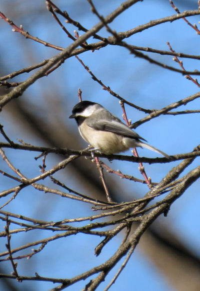 chickadee bird pictures