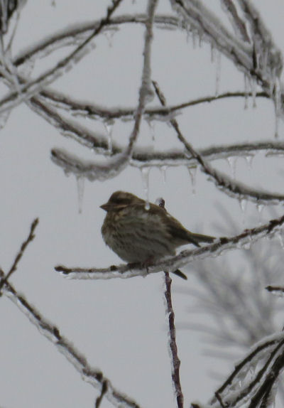 fox sparrow on icy branch