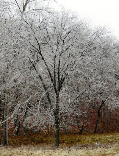 ice coating on a tree after an ice storm